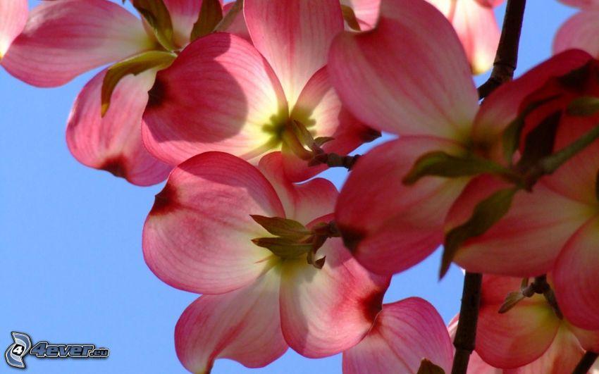 orkidéer, rosa blommor