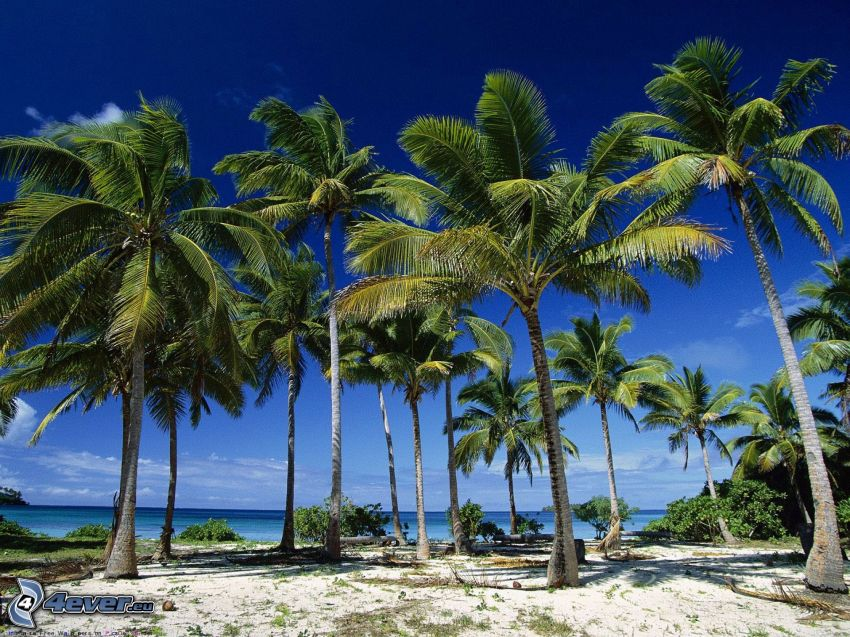 palmer på strand