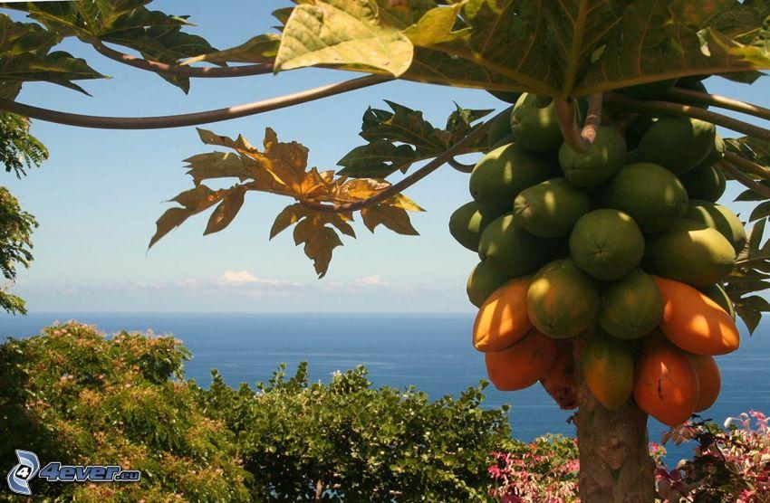 papaya, öppet hav