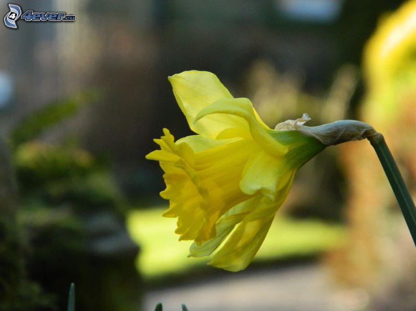 påsklilja, gul blomma