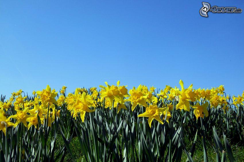 påskliljor, blå himmel