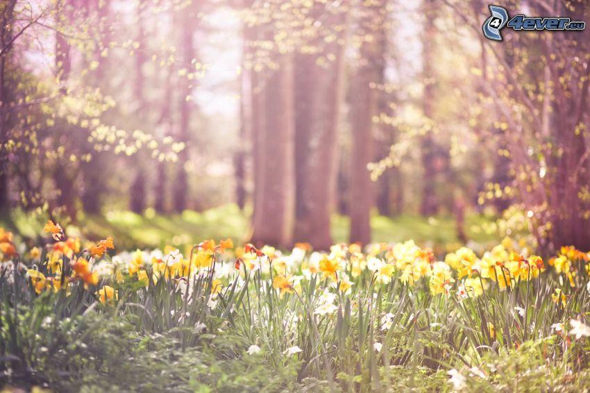 påskliljor, gula blommor, skog