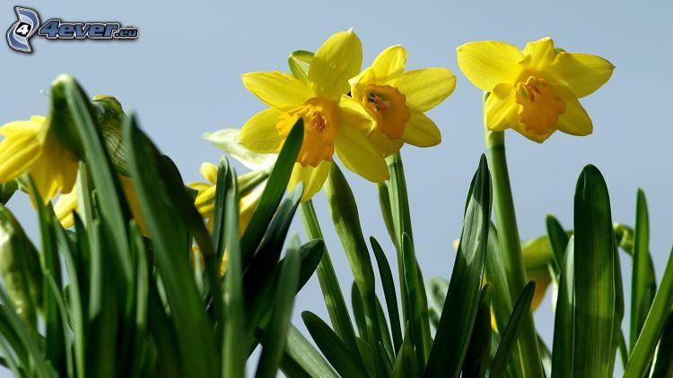 påskliljor, gula blommor