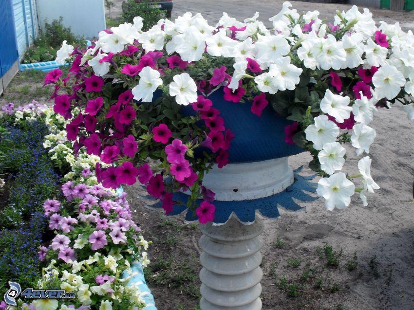 petunia, kruka, vita blommor, lila blommor