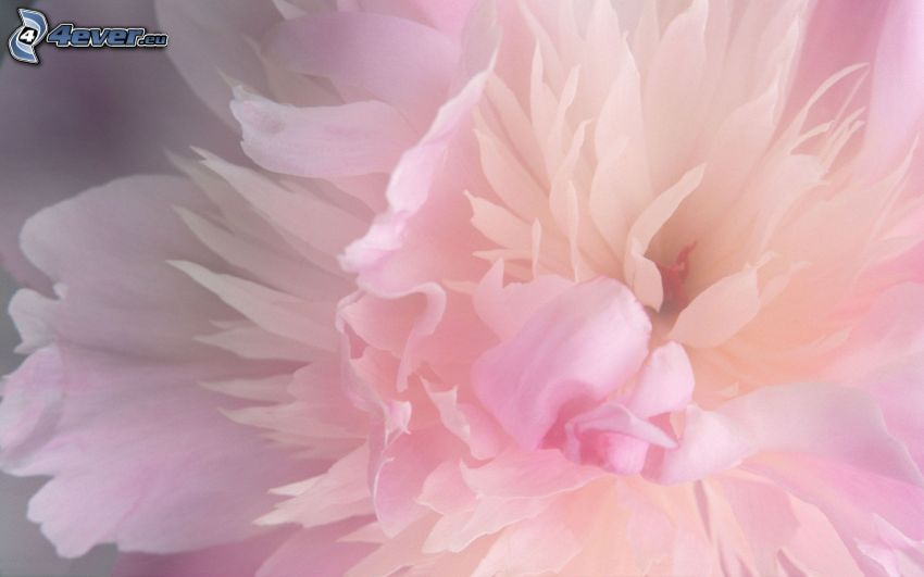 pion, rosa blomma