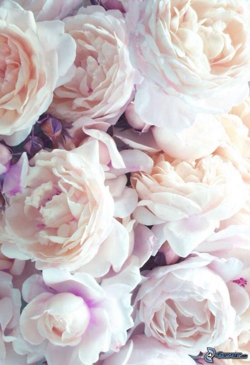 pion, vita blommor