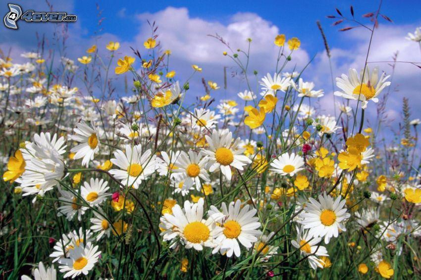 prästkragar, blommor, äng