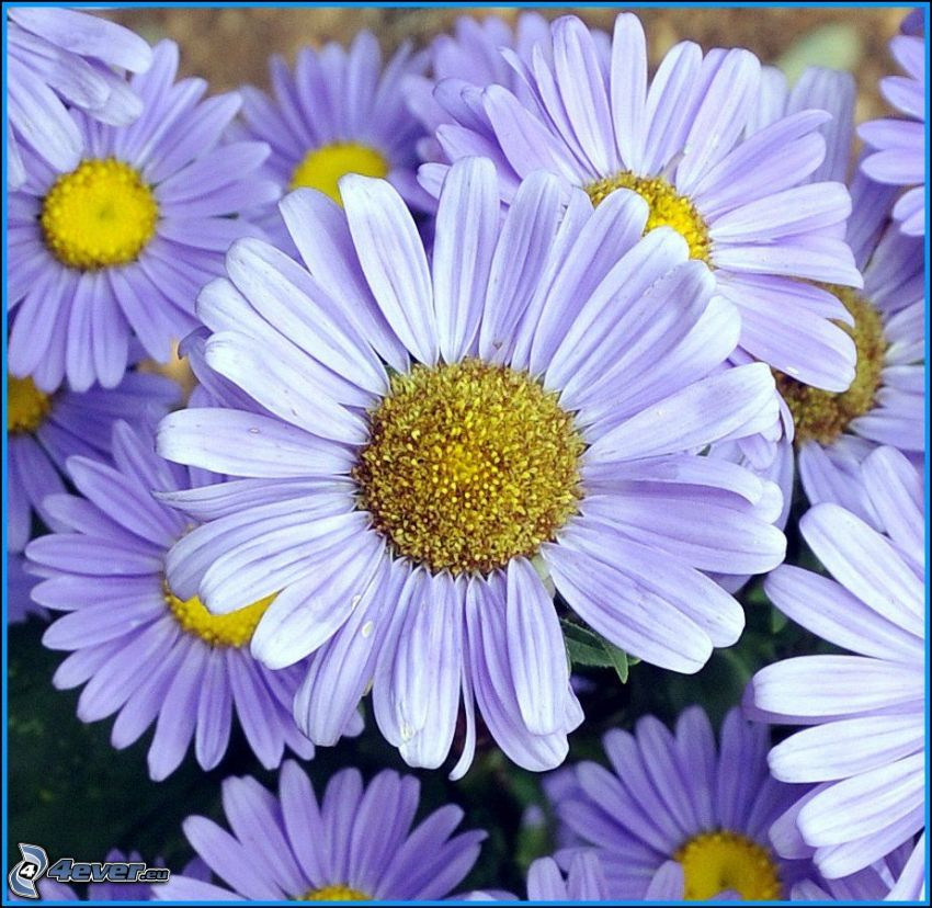 prästkragar, blommor