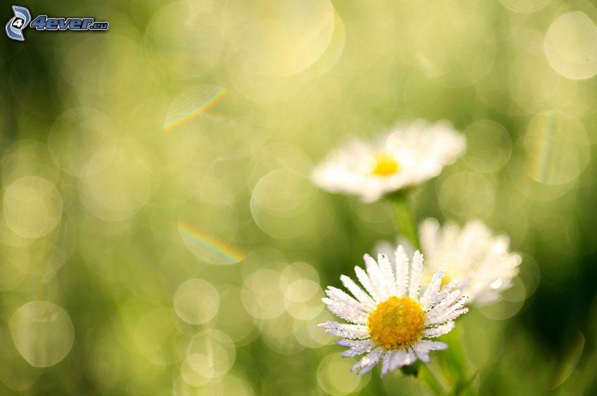 prästkragar, dagg på blomma