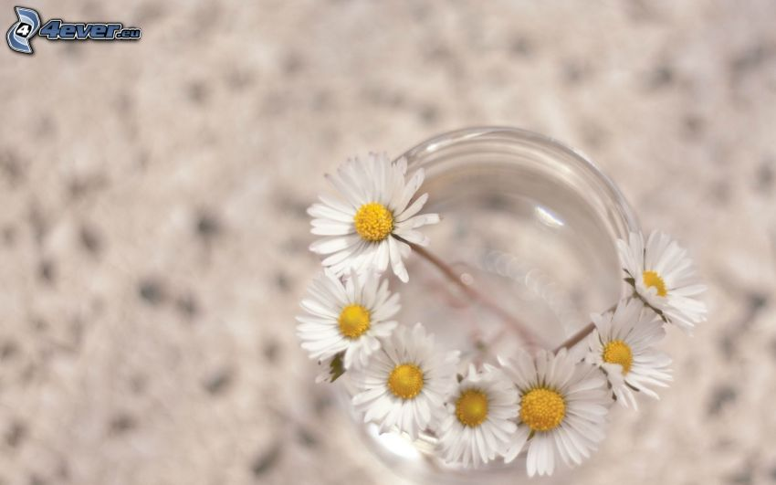 prästkragar, glas