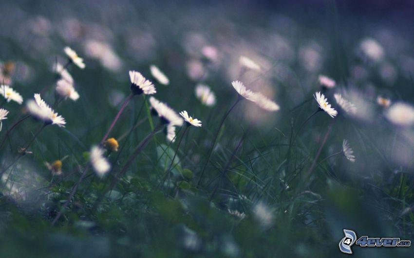 prästkragar, gräs