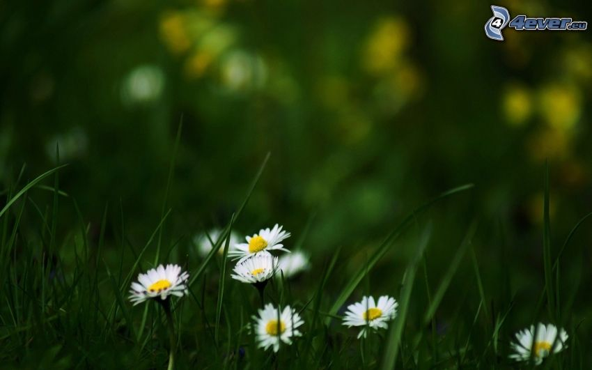prästkragar, grässtrån