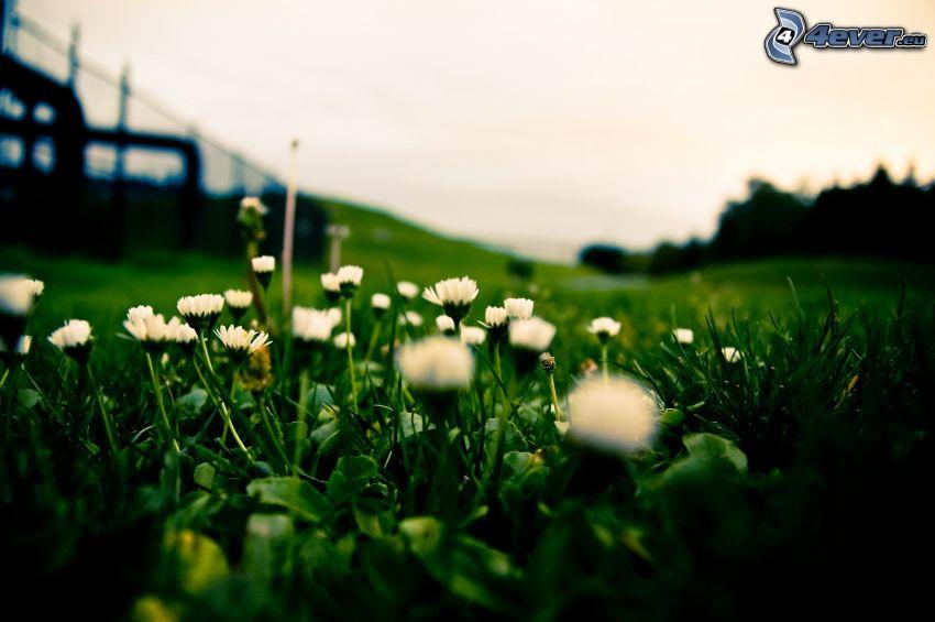 prästkragar, grönt gräs
