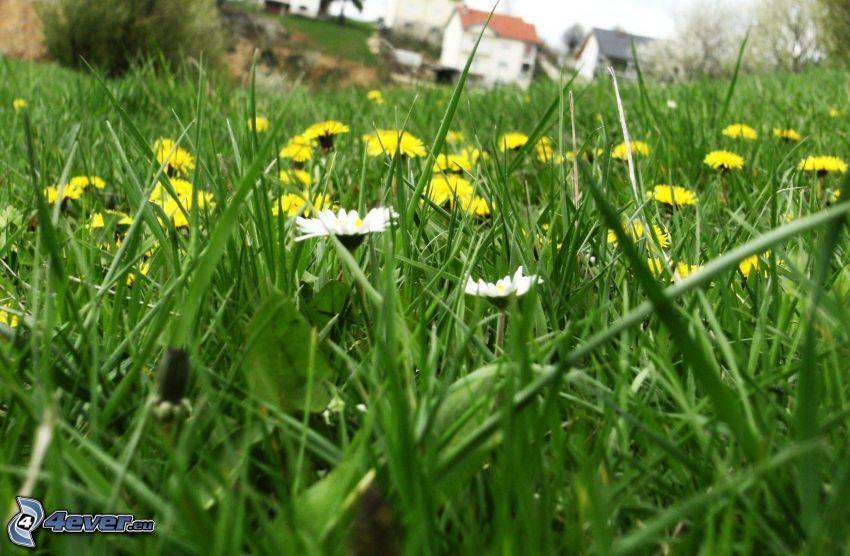 prästkragar, maskrosor, gräs