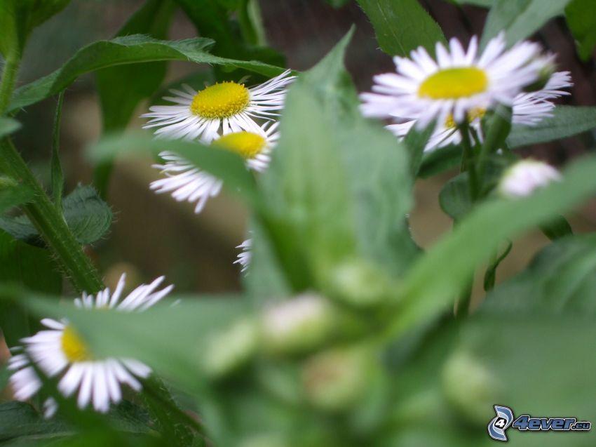 prästkragar, vita blommor, gräs