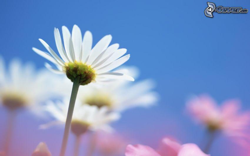 prästkragar, vita blommor