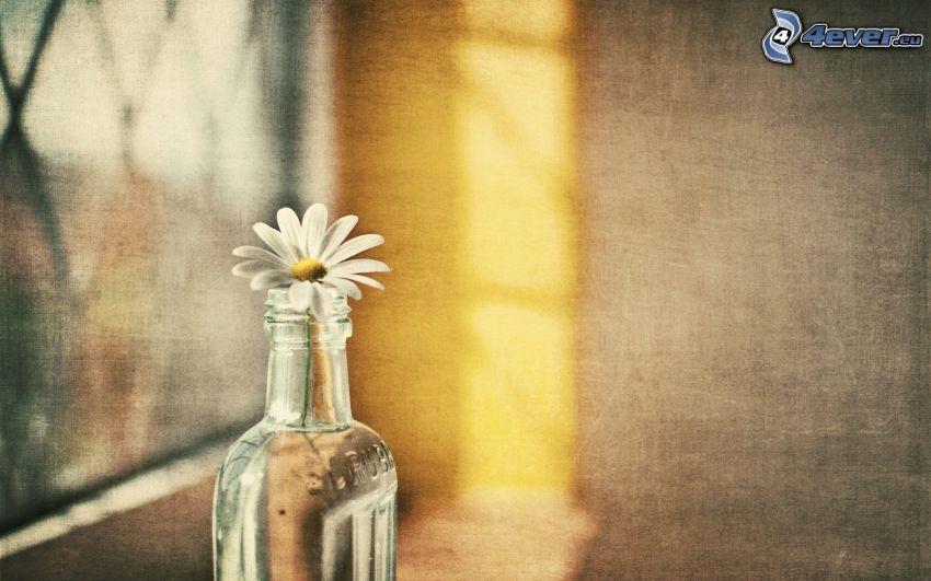 prästkrage, blomma i vas