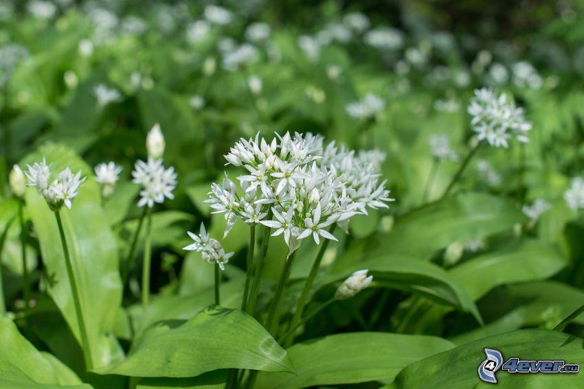 ramslök, vit blomma