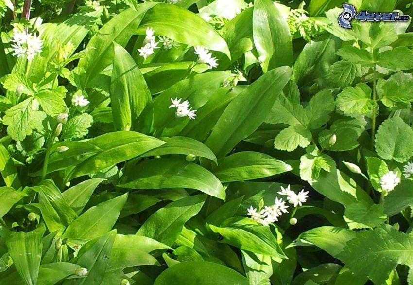 ramslök, vita blommor