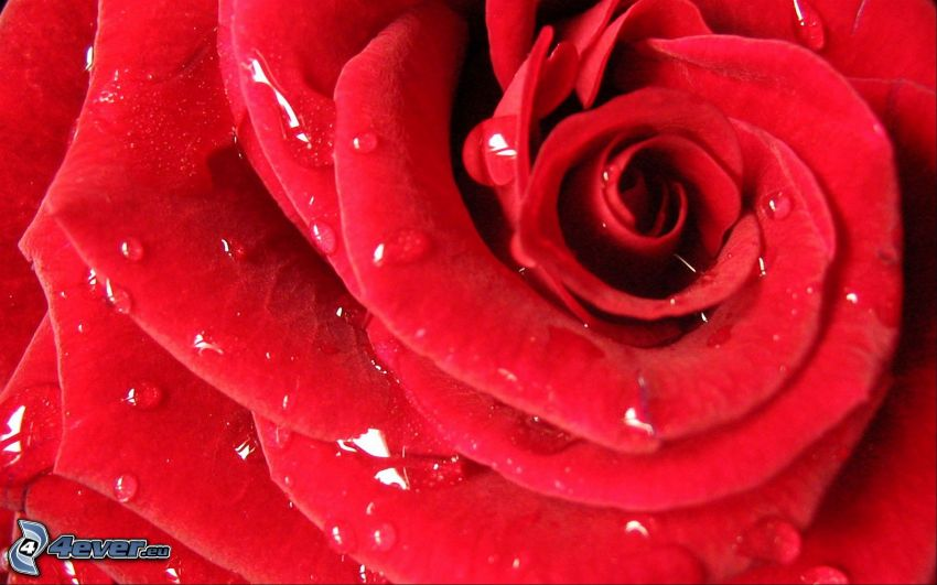 röd ros, blomma