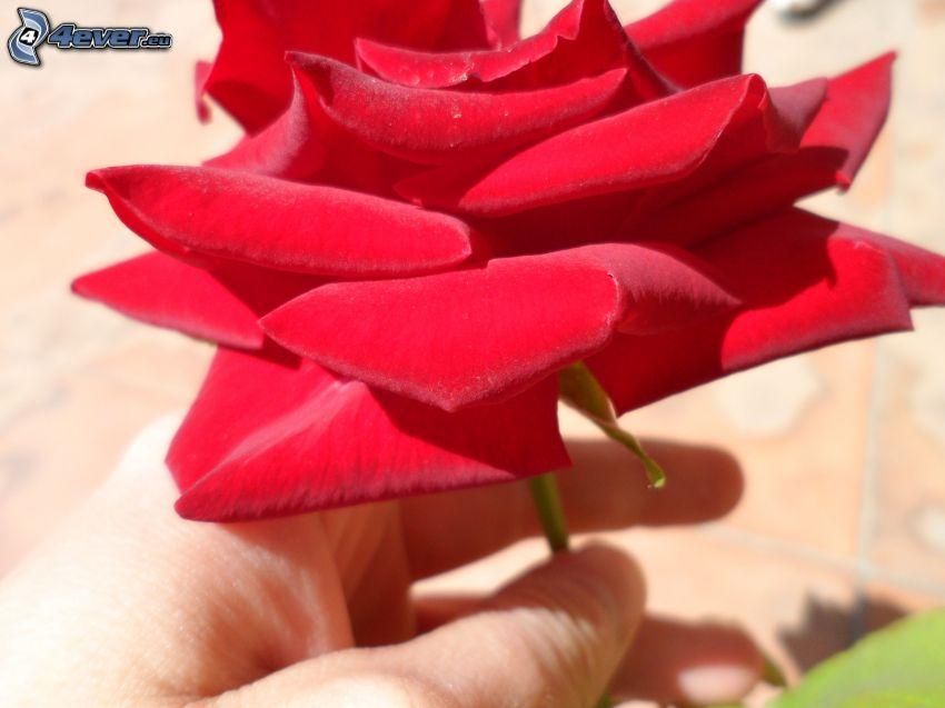 röd ros, hand