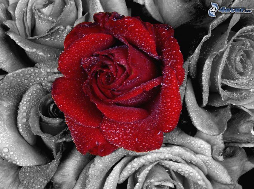 röd ros, rosor, svart och vitt, vattendroppar