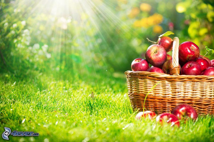 röda äpplen, korg, solstrålar, gräs