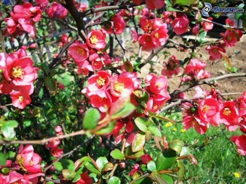 röda blommor, buske