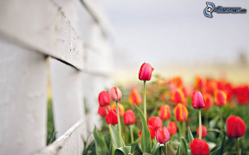 röda tulpaner, trästaket