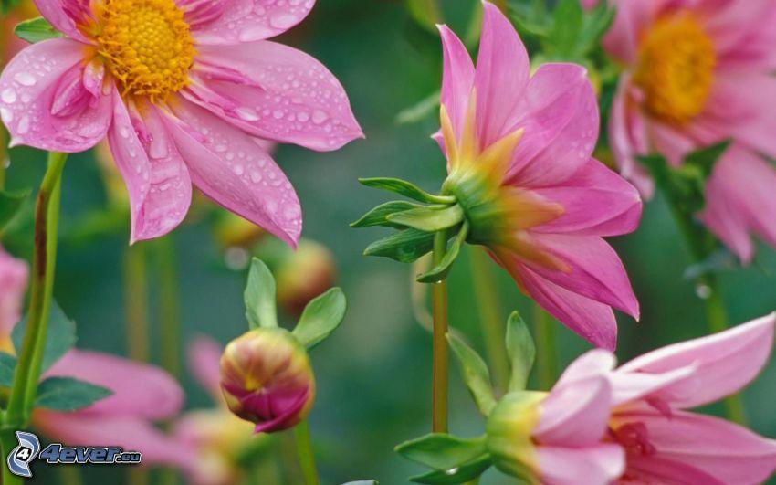 rosa blommor, dagg på blad