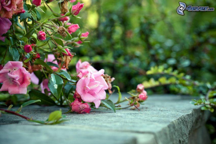 rosa blommor, mur