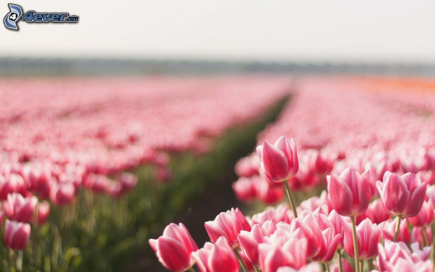 rosa tulpaner, åker