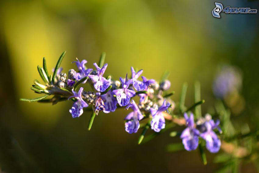 rosmarin, lila blommor
