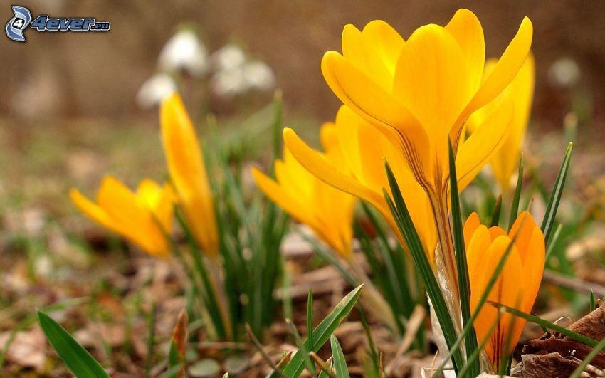 saffran, gul blomma