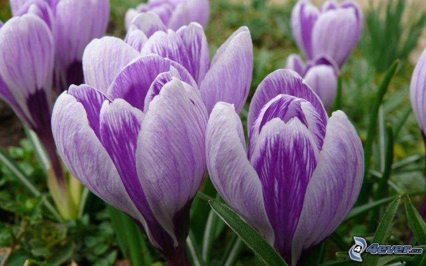 saffran, lila blommor