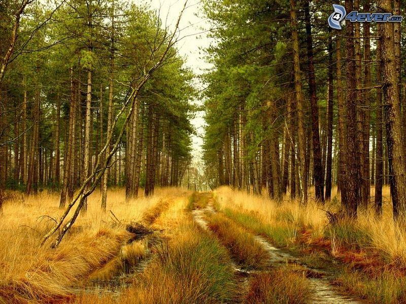 skogsväg, barrträd, vattenpölar