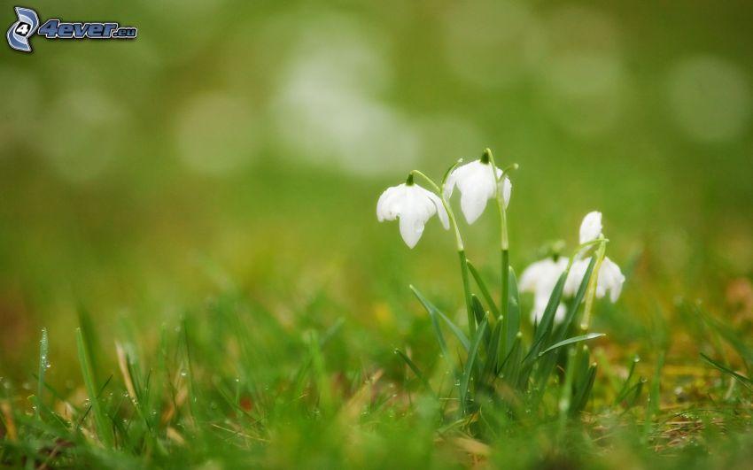 snödroppar, gräs