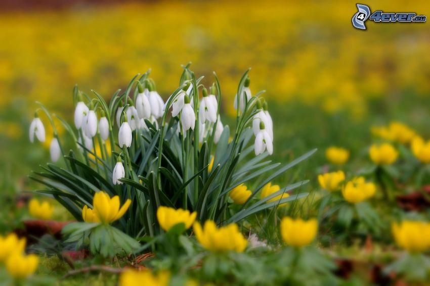 snödroppar, gula blommor