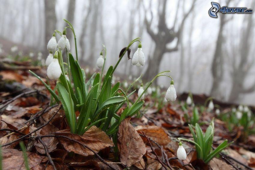 snödroppar, nedfallna löv, dagg på blomma