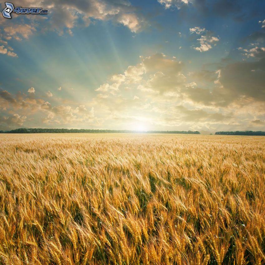 solnedgång bakom fält, korn