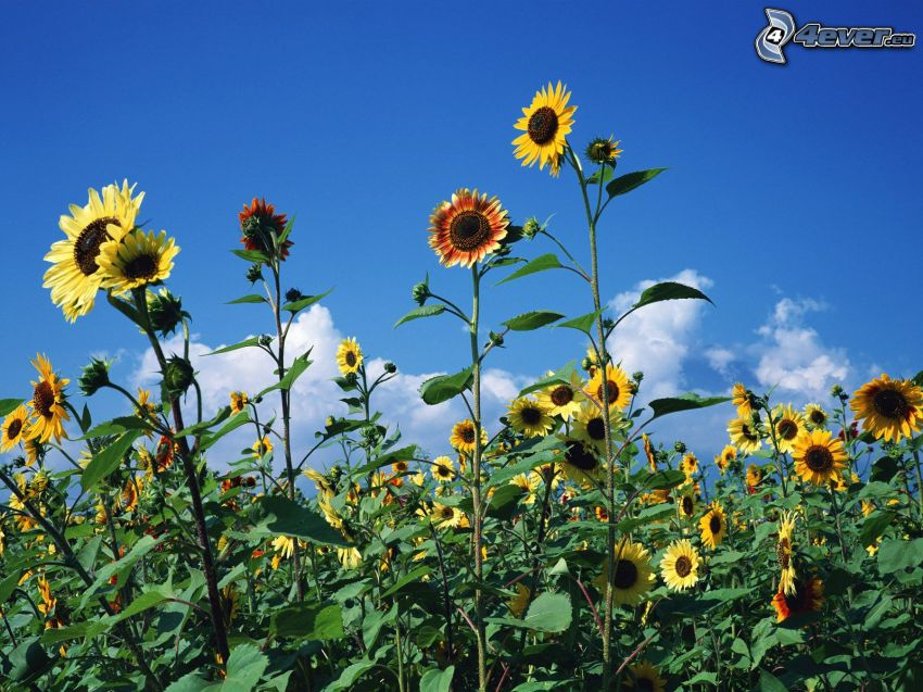solrosor, blå himmel