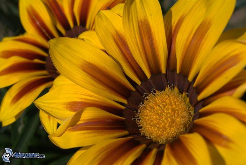 solrosor, gul blomma