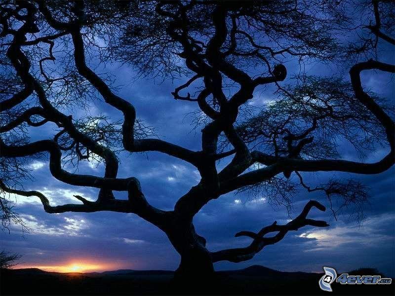 spretigt träd, landskap, soluppgång, siluett av ett träd