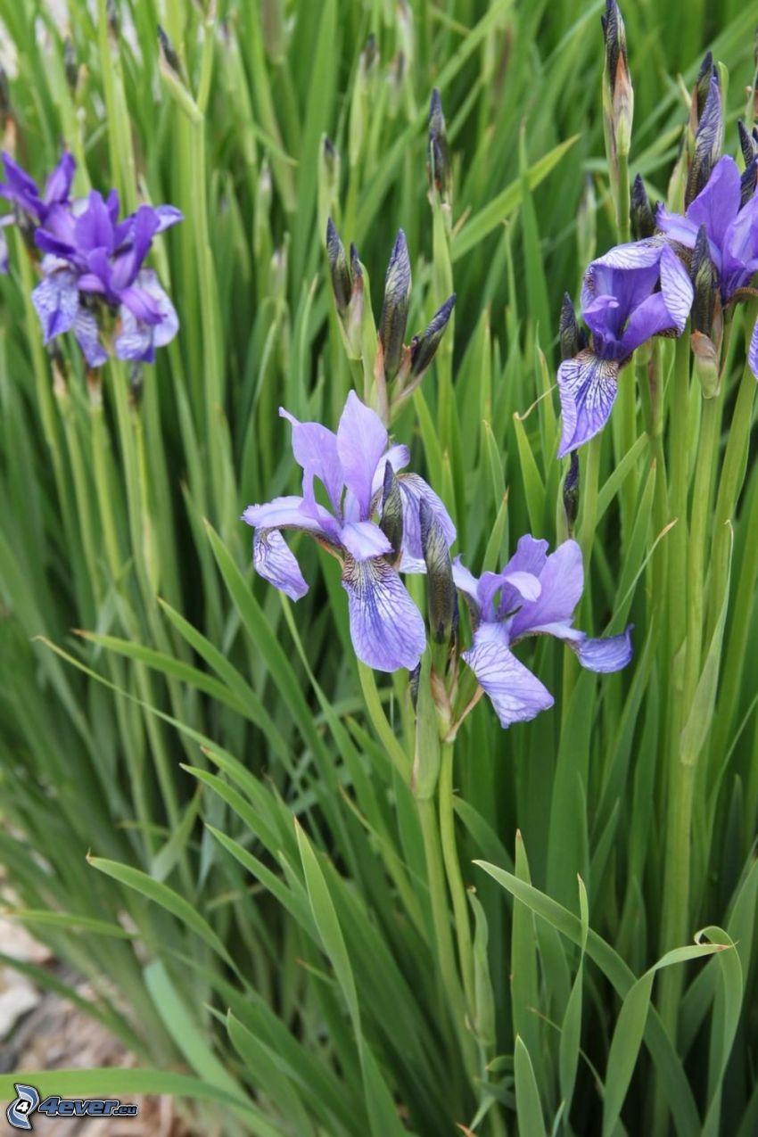 Strandiris, lila blommor, gräs