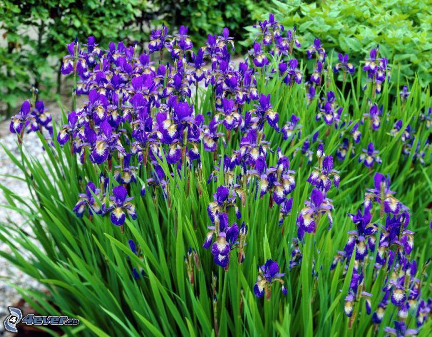 Strandiris, lila blommor