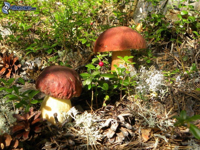 svampar, barr