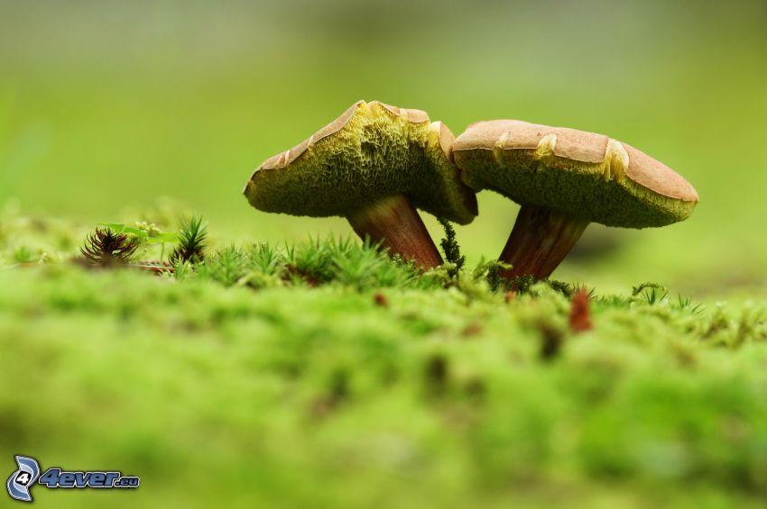 svampar, mossa