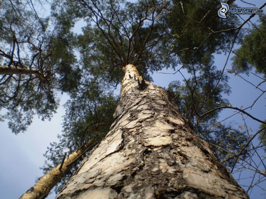 tall, träd, stam