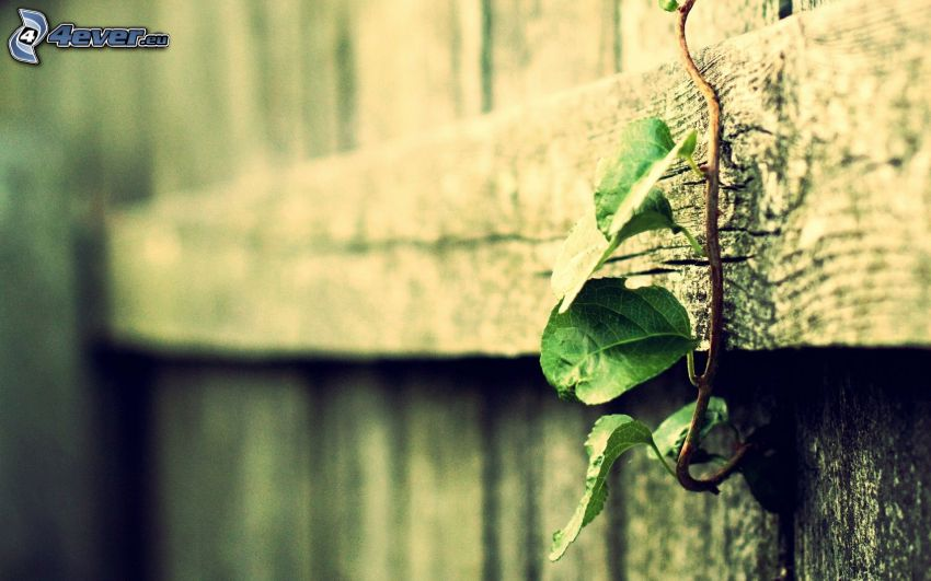 trästaket, murgröna
