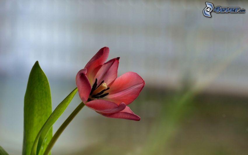 tulpan, röd blomma